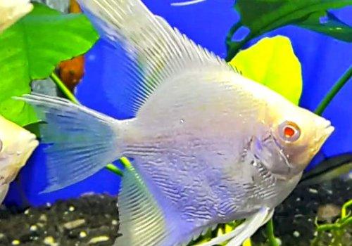 Cкалярия Белый жемчуг ( Scalare Albino White Pearl)