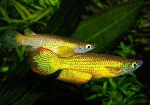 Аплохейлус панхакс золотой (Aplocheilus panchax gold)