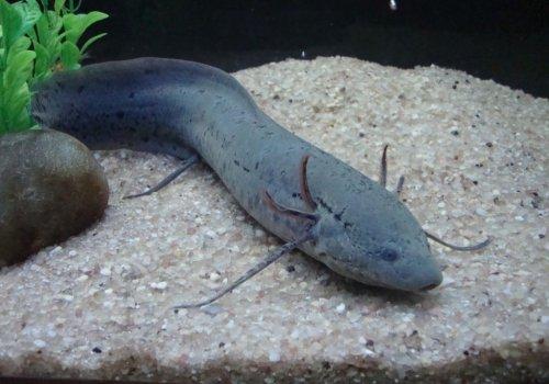 Протоптер большой (Protopterus aethiopicus)