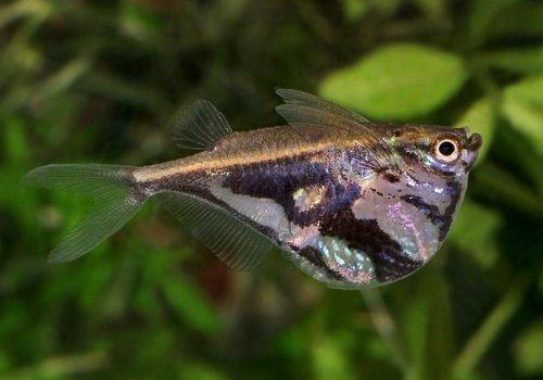 Клинобрюшка мраморная (Carnegiella strigata)