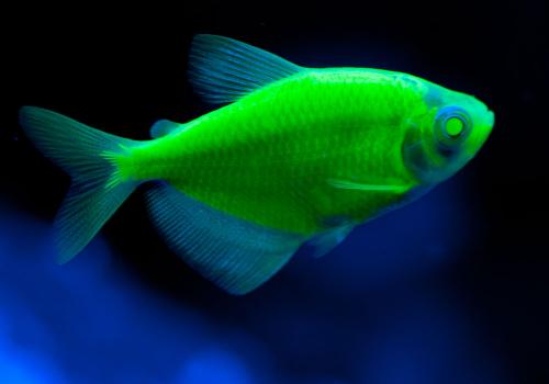 Тернеция зеленая (Electric Green Tetra GloFish)