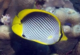 664-958-black-backed-butterflyfish-b