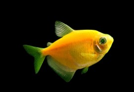 7855ribdom.ru_glofish-sunburst-orange-tetra